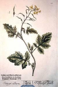 Image of Sinapis alba