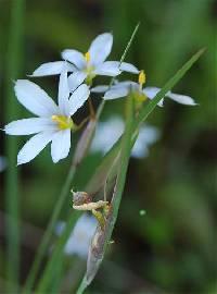 Image of Sisyrinchium campestre