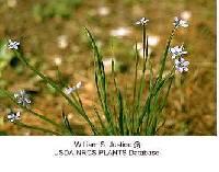 Image of Sisyrinchium mucronatum