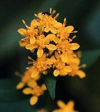 Image of Solidago flexicaulis
