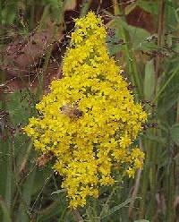 Image of Solidago speciosa