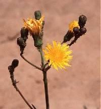 Sonchus arvensis subsp. uliginosus image