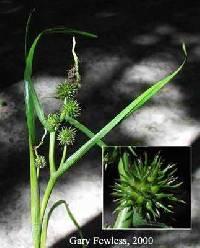 Image of Sparganium androcladum