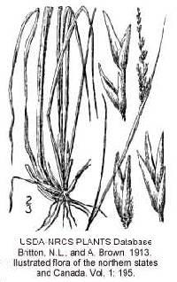 Image of Sporobolus clandestinus