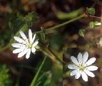 Image of Stellaria graminea