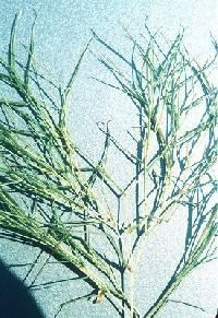 Image of Stuckenia pectinata
