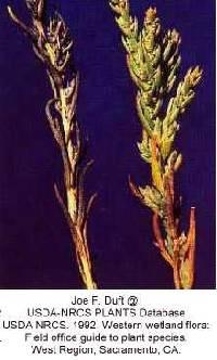 Image of Suaeda calceoliformis