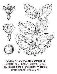 Symphoricarpos albus var. albus image