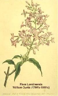 Image of Syringa x persica