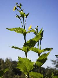 Image of Silphium perfoliatum