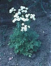 Image of Tanacetum parthenium