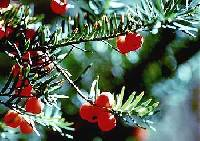 Image of Taxus canadensis