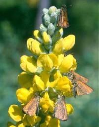 Image of Thermopsis rhombifolia