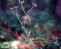 Image of Torilis japonica