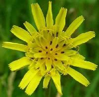 Image of Tragopogon pratensis
