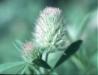 Image of Trifolium arvense