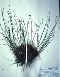 Image of Trichophorum clintonii