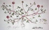 Trifolium fragiferum image