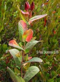 Image of Triadenum virginicum