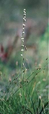 Image of Triglochin palustris