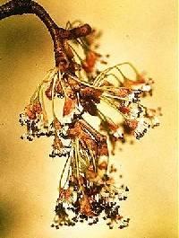 Ulmus americana image