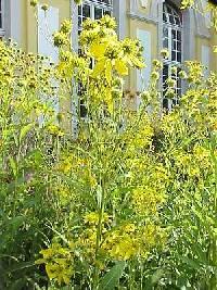 Image of Verbesina alternifolia