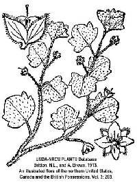 Image of Veronica hederifolia