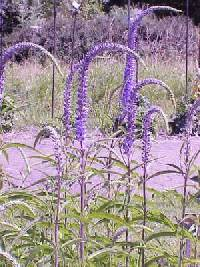 Image of Veronica longifolia