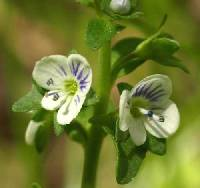 Image of Veronica serpyllifolia