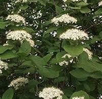 Image of Viburnum lantana