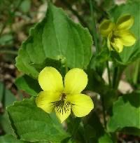 Image of Viola pubescens