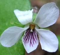 Viola renifolia image