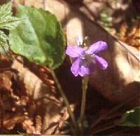 Image of Viola selkirkii