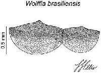 Image of Wolffia brasiliensis