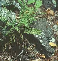Image of Woodsia x abbeae