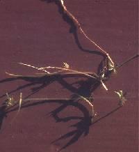 Image of Zannichellia palustris