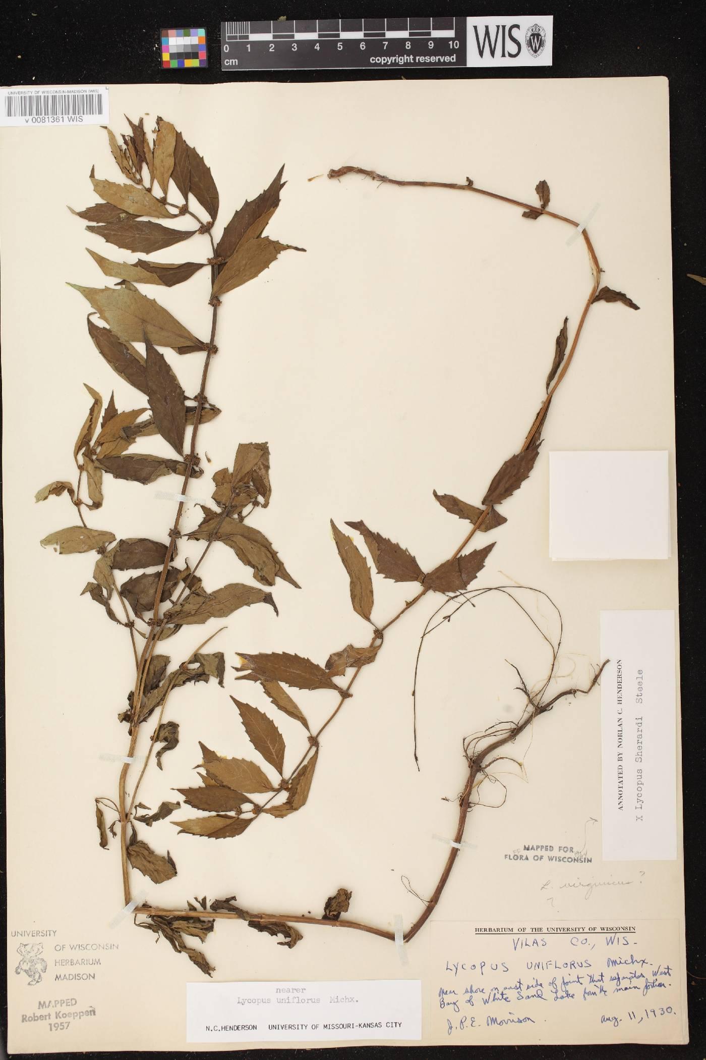 Lycopus X sherardii image