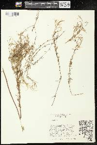 Image of Epilobium