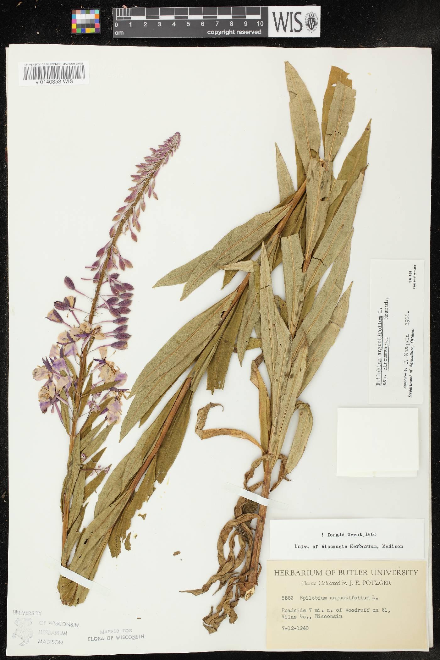 Chamerion angustifolium subsp. circumvagum image