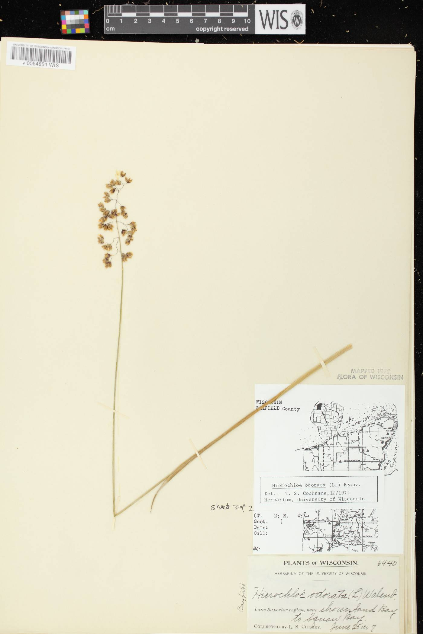 Anthoxanthum hirtum image