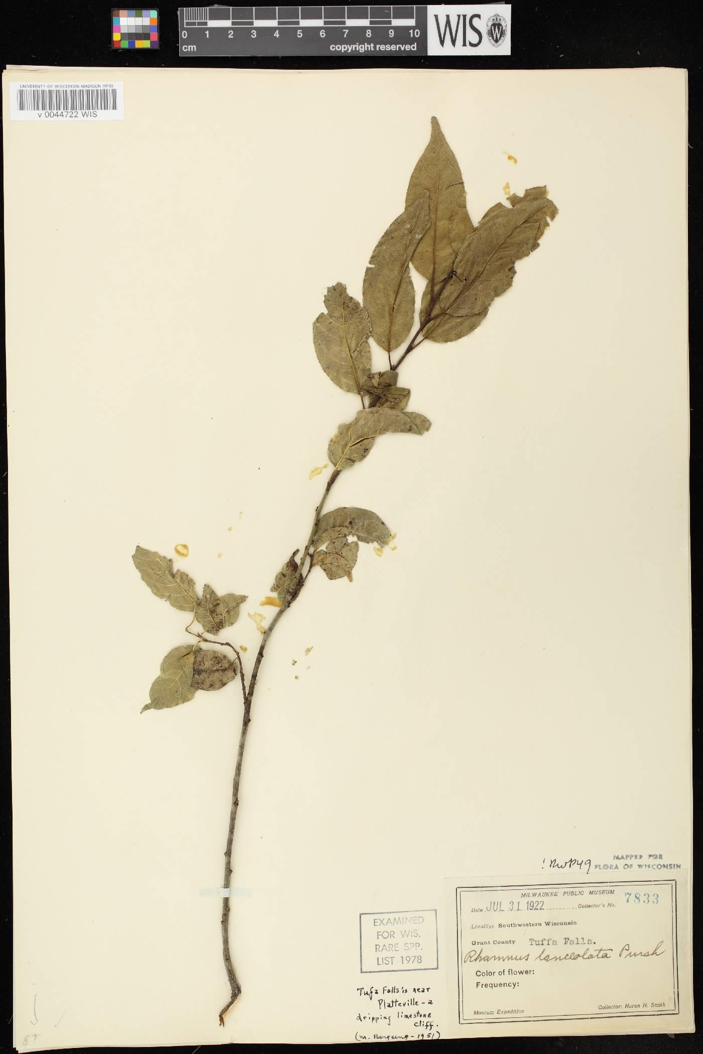 Rhamnus lanceolata image