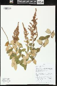 Image of Spiraea tomentosa