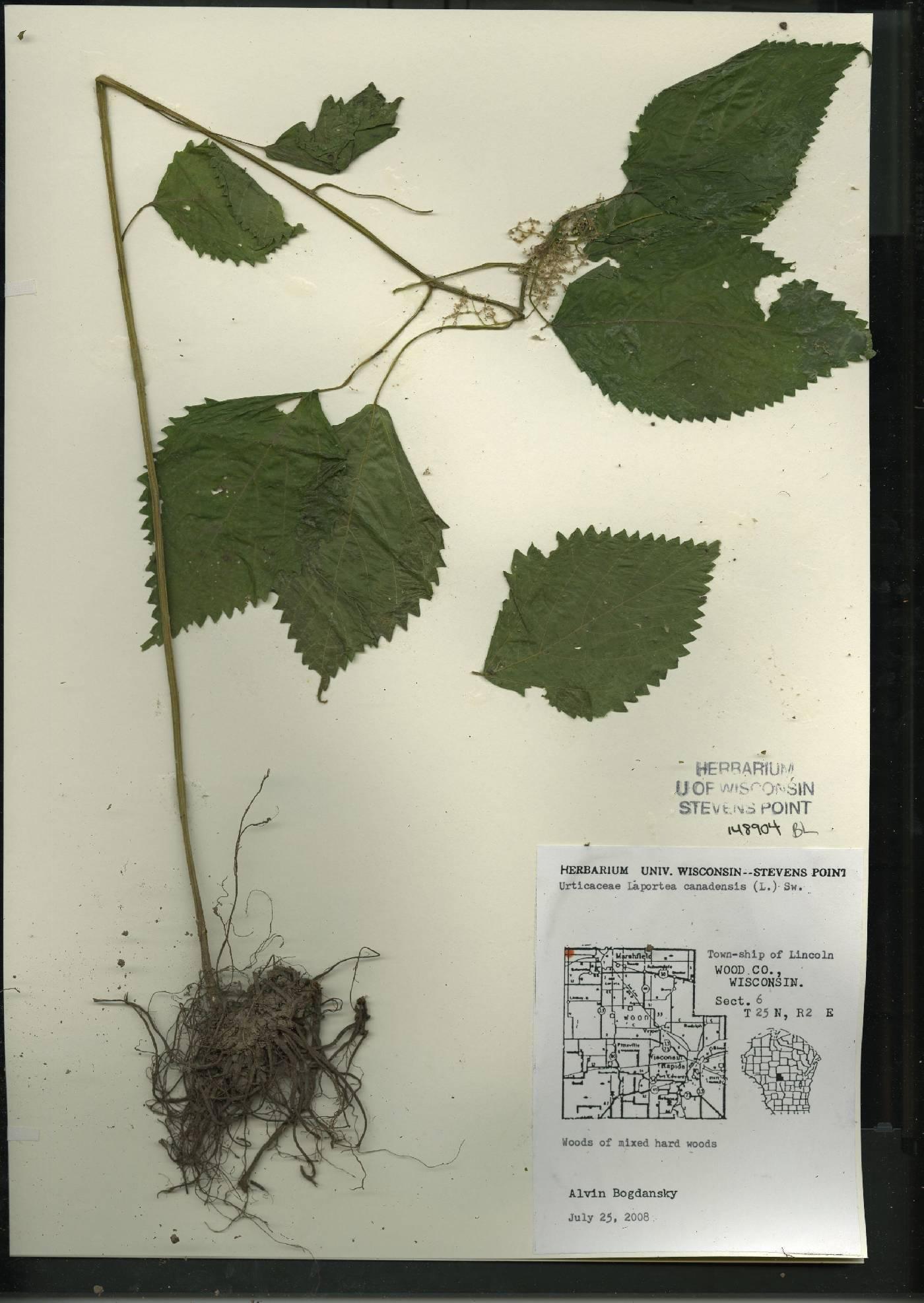 Laportea canadensis image