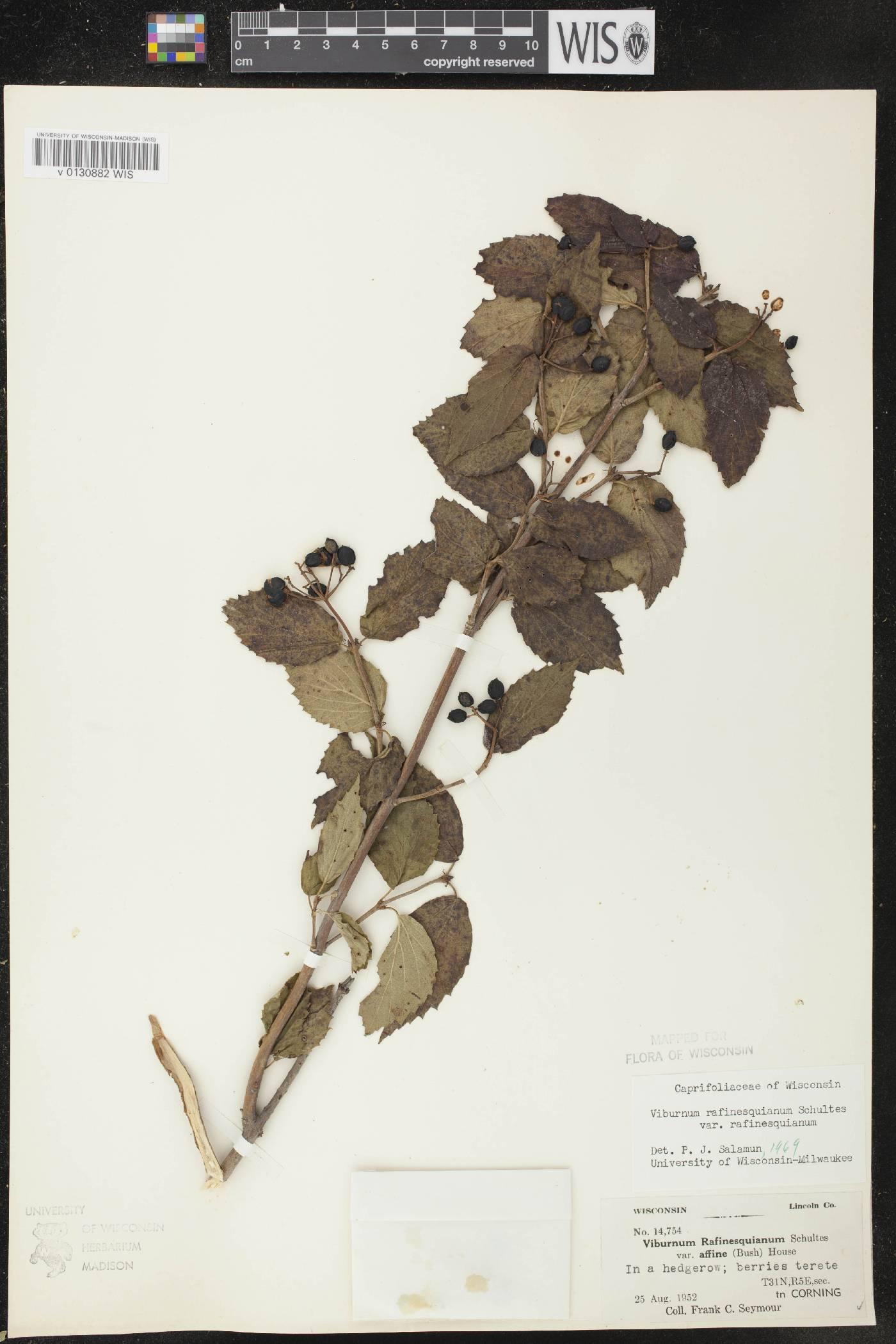 Viburnum rafinesquianum var. rafinesquianum image