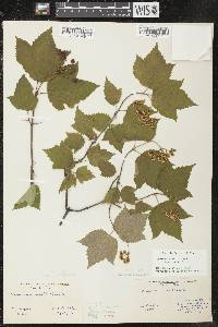 Viburnum acerifolium image