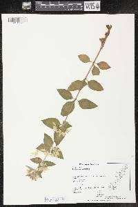 Lysimachia punctata image