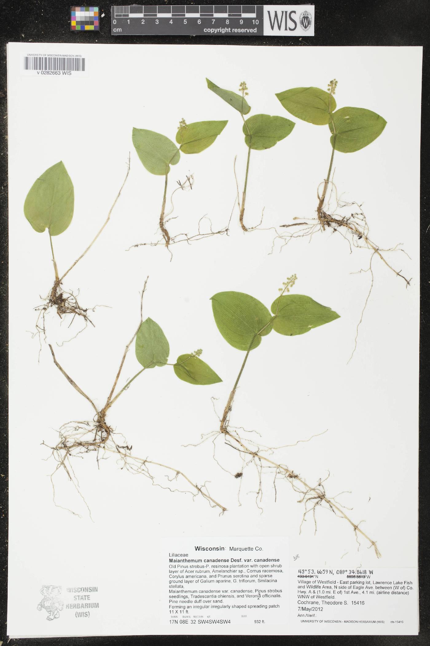 Maianthemum canadense var. canadense image
