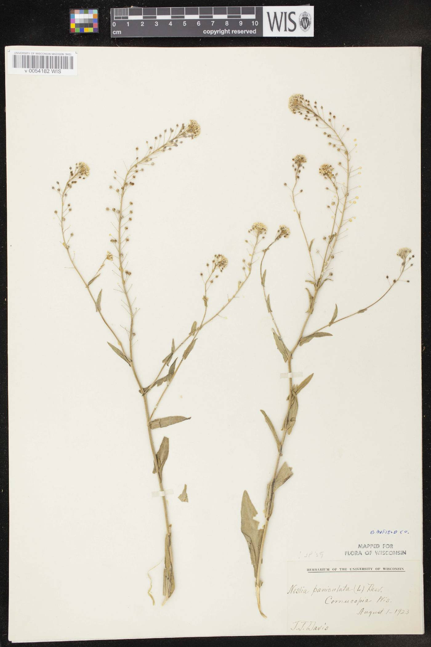 Neslia paniculata image