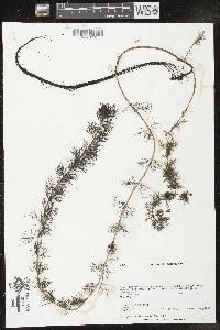 Myriophyllum sibiricum X M. spicatum image