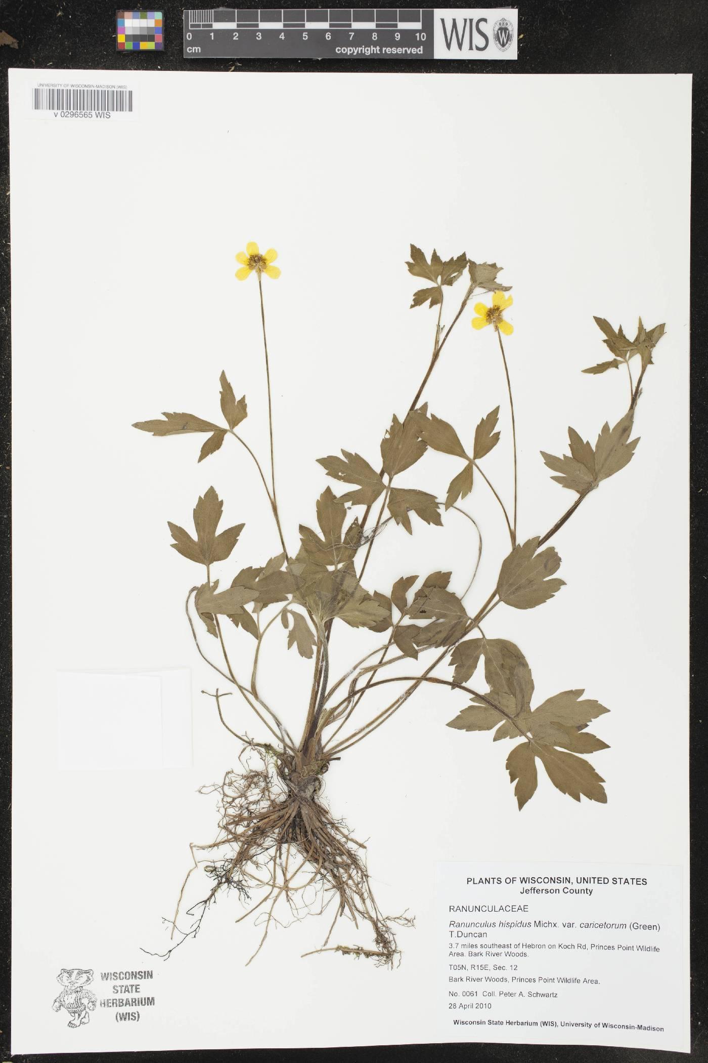 Ranunculus hispidus var. caricetorum image